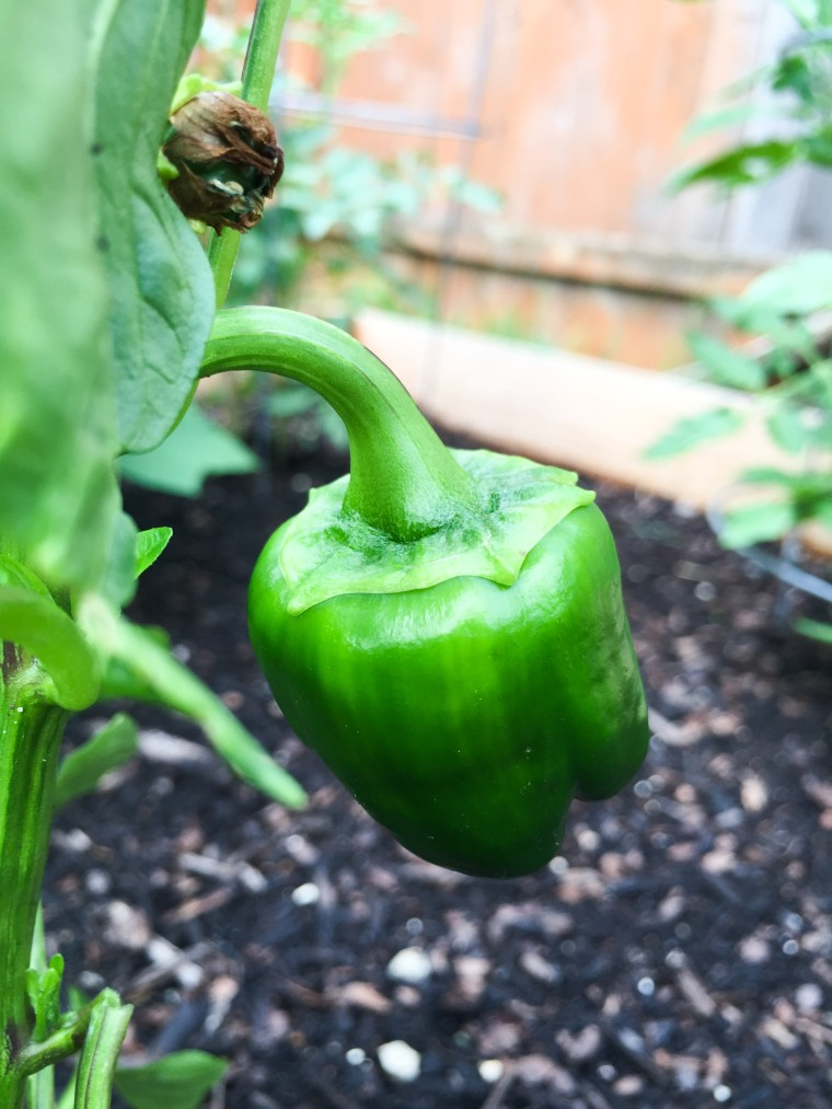 Green Bell Pepper on the Vine
